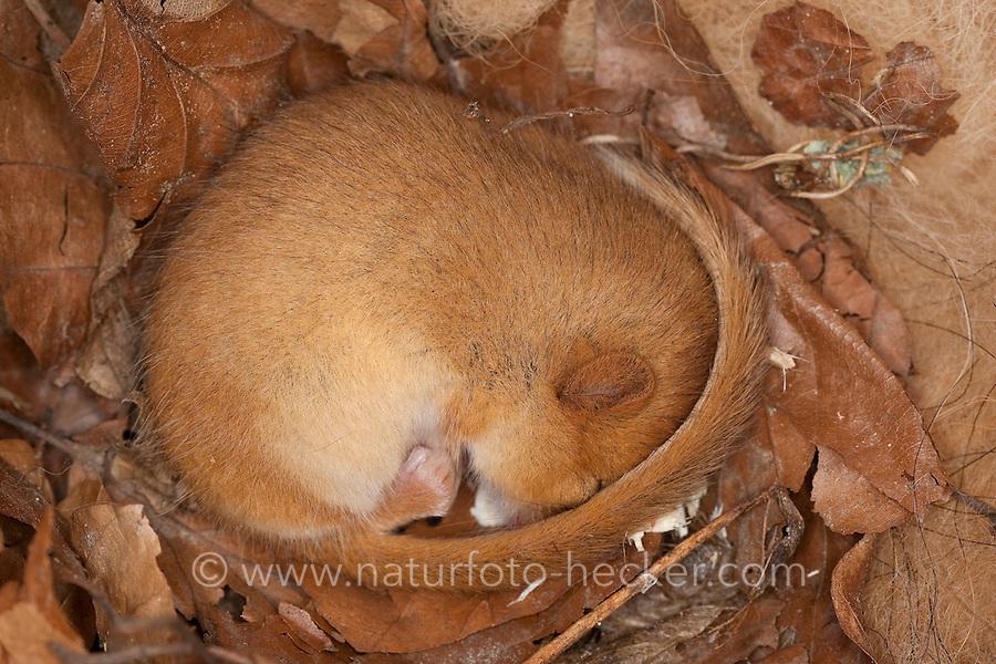 Haselmaus schläft eingerollt in einem Nistkasten, Vogelnistkasten, schlafend, Hasel-Maus, Muscardinus avellanarius, hazel dormouse, common dormouse, Schläfer, Schlafmäuse, Bilche, Bilch, Gliridae, dormice