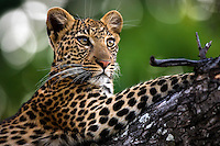 Close-up view of a leopard resting in a tree, Okavango Delta, Botswana.