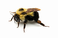 Brown-belted Bumble Bee (Bombus griseocollis), British Columbia, Canada