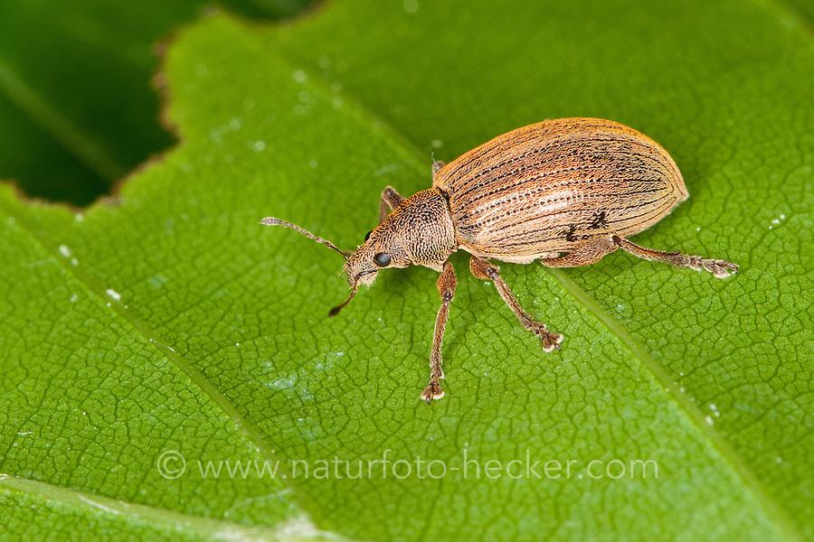 Kupfriger Glanzrüssler, Kupfriger Glanzrüßler, Kupferfarbener Glanzrüssler, Rüsselkäfer, Rüssler, Rüßler, Polydrusus mollis, Weevil, Weevils