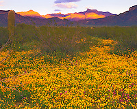 Mexican Gold Poppies & Ajo Mountains in Spring Sunset, Organ Pipe Cactus National Monument, Arizona