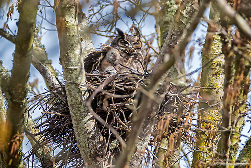 Great Horned Owl and Owlet on Nest, Skagit Valley, Washington