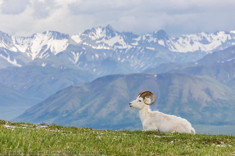 Dall sheep ram, Alaska range, Denali National Park, interior, Alaska.