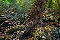 This old twisted Tallowwood tree growing out of a dry creek bed stood out against the backdrop of the surrounding forest making it a great subject to photograph.