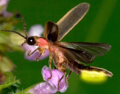 1C24-769k Pyralis Firefly - Lightning Bug - flying from flower - four wings - Male - Photinus spp.