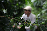 Mauricio Fallas Mota, member of COOPEDOTA, checks his coffee plants. COOPEDOTA, Santa Mar&iacute;a de Dota, San Jos&eacute;, Costa Rica. September 7, 2012.