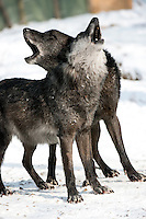 Two black variant North American Timber Wolves (Canis lupus) howling in snow. The melanistic gene was introduced into the wolf population from interbreeding with dogs and is now common in forested areas of Canada.