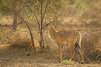 A wild female Cow in the Thar Desert, Rajasthan,India