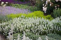 Low flowering perennial border with white sage, Salvia nemorosa 'Snow Hill' ('Schneehugel'), Nepeta, Stachys at Filoli garden