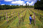 Vines, Adgestone Vineyard Photographs of the Isle of Wight by photographer Patrick Eden