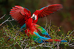 Red-and-green macaws, Buraco das Araras, Brazil