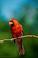 Northern Male Cardinal perched on twig in spring close up with quizzical expression