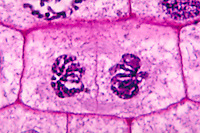 Mitosis telophase stage and cell plate formation in an Onion cell (Allium). LM X1500