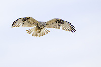 Rough-legged Hawk hunting while soaring over a field