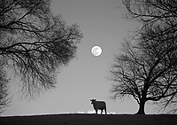 A cow stands under the rising moon off Barracks Road in Albemarle County, VA.