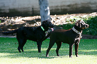 8 May 2010:  Charlie (12 years), Khloe (5 months), Rookie (6 month Golden Labrador) all labrador retriever dogs at the park.  Images for personal use.