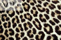 Pattern of spots in Leopard fur. Masai Mara Game Reserve, Kenya