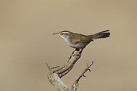 598030014 a wild bewick's wren thryomanes bewickii  perched on a twig in kern county california united states
