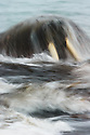 Walrus (odobenus rosmarus) in slow motion with waves splashing, Spitsbergen, Svalbard
