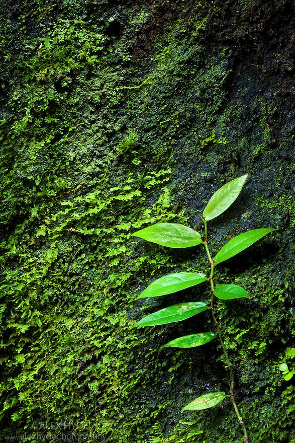Vine creeping up mossy tree trunk towards light. Danum Valley, Sabah, Borneo, Malaysia.