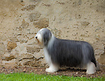 Bearded Collie<br />