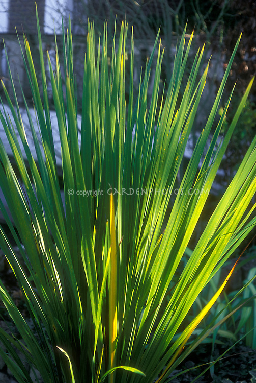Cordyline Emerald Green