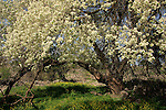 T-039 Cherry tree in the Golan Heights