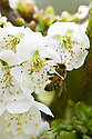 Bee on blossom of sweet cherry 'Sweetheart', mid April.