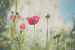 a pink & purple poppy in a field of wild flowers on a summer afternoon