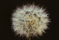 Salsify seed head, Tragopogon porrifolius, USA
