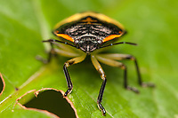 A frontal view of a Green Stink Bug (Chinavia hilaris) nymph.