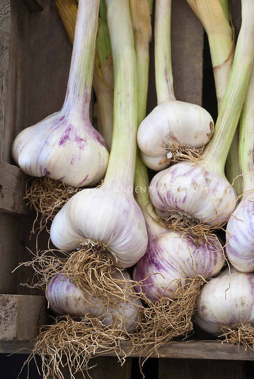 how to grow garlic from a bulb