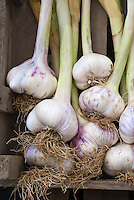 Garlic Provence Wight Allium sativum purple fresh picked softneck type bulbs with stems and roots