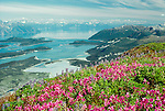 View of Glacier Bay with fireweed and lupine, Glacier Bay National Park, Alaska, USA