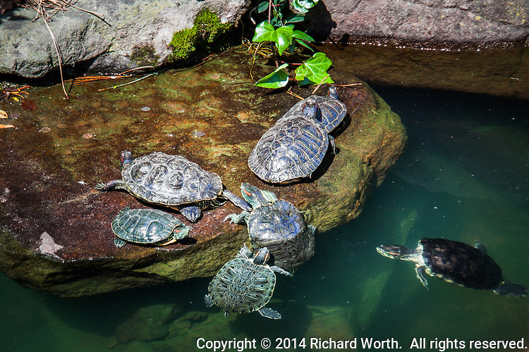 This koi pond is home to more than just fish.  Turtles at the Japanese Garden Koi Pond climb from the water onto a dry, rocky ledge.