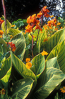 Canna Striata aka Pretoria aka Bengal Tiger in orange bloom with striped green and yellow foliage, with Cosmos sulphureus in summer flowers