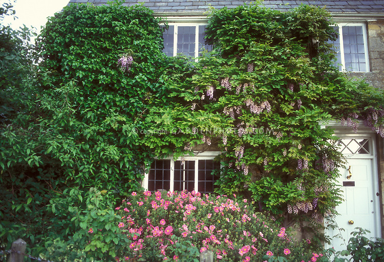 Wisteria Cistus Flowering In Spring House Plant