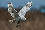 Snowy owl, George C. Reifel Migratory Bird Sanctuary, British Columbia, Canada
