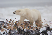 Polar Bear walking along the rocky shoreline of Hudson Bay