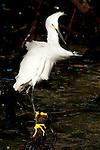 Snowy Egret (Egretta thula), Rosario islands, Cartagena de Indias, Bolivar Department, Colombia, South America.