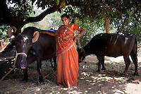 "Shardaben poses with her buffaloes that she bought with the money she earned from surrogacy...Shardaben Kantiben, 31; Husband is Kantibhai Motibhai (37).3 children --- 2 girls -  Usha(15) and Lakshmi (18, in pink); 1 boy, Chintan (17).- Education costs for all three come to Rs. 15,000 per year.- Shardaben was a two-time surrogate. First time she gave birth to twin girls for a Taiwanese couple and the second time a boy for an Indian couple from America (photo on TV set because she's proud that it was a boy).- The second time she became emotional and they got a gold ring of Rs. 1,500 made for the boy, which they presented to the biological parents. They are not in touch with either couple..- From the two surrogacies, they earned a little over 700,000rupees..-200,000rupees will be given as dowry for Lakshmi's wedding..- They leased agricultural land (Rs. 2 lakhs for five years) which earns them Rs. 60,000-70,000 a year; they bought two buffaloes worth Rs. 60,000 and make almost 6000-7000 per month selling milk; they bought a motorbike for Rs. 25,000; they put some money into house repairs and the construction of toilets, and opened a fixed deposit in Shardaben's name for Rs. 1.5 lakh and one in the name of their son, Chintan, for Rs. 25,000..Quotes..""Everyone says they'll keep in touch and take down addresses and phone numbers but nobody looks back. And I guess it works well. Our main interest was in the money. Their main interest is in the baby."" - KantiBhai.""Their rules apply at the surrogate house. It does curtail the freedom. When I used to go, everybody would just be lying. They count the days when they can go back."" - Kantibhai.""Ours is natural birth but surrogacy is a man-made pregnancy. There's a lot of risk. She must have taken at least 300 injections."" - Kantibhai of his wife...The Akanksha Infertility Clinic is known internationally for its surrogacy program and currently has over a hundred surrogate mothers pregnant in their environmentally controlled surro"