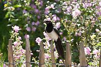 Elster, auf Gartenzaun, Zaun vor Blumenbeet mit Malven, Pica pica, Magpie, Pie bavarde
