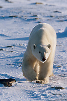 Male Polar bear walks along ice pack forming on the Hudson Bay in Churchill, Manitoba, CANADA