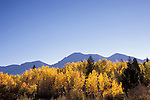 Backlit autumn quaking aspens below The Ruby Range, Gunnison National Forest, Colorado