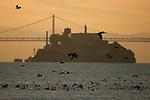The birds near Alcatraz Island, San Francisco, California.
