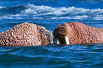 Cape Pierce National Wildlife Reserve, Alaska, USA. Walruses are highly gregarious animals that are characterised by their long tusks, which are used in fights as well as an ambulatory aid. Native to Arctic regions from eastern Canada, Greenland, Eurasia and Alaska.