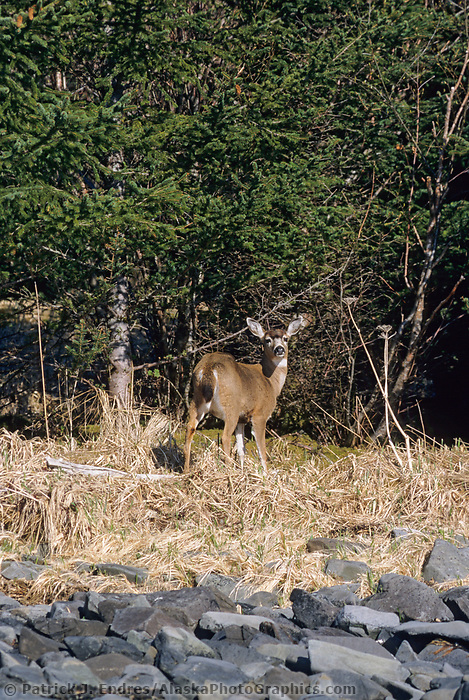 Sitka black-tailed deer along shore of Montague Island, Prince William Sound, Alaska.