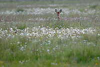 A female european roe deer (capreolus capreolus) is slowly approaching her young kid hidden in the long grass. It's a late summer evening at Vombs angar in southern Sweden.<br /> May 2004.