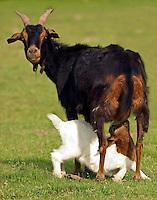 A mother goat lets her kid suckle on a farm near Temple Texa