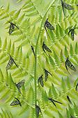 Mayflies on a Fern (Ephemeroptera), North America.